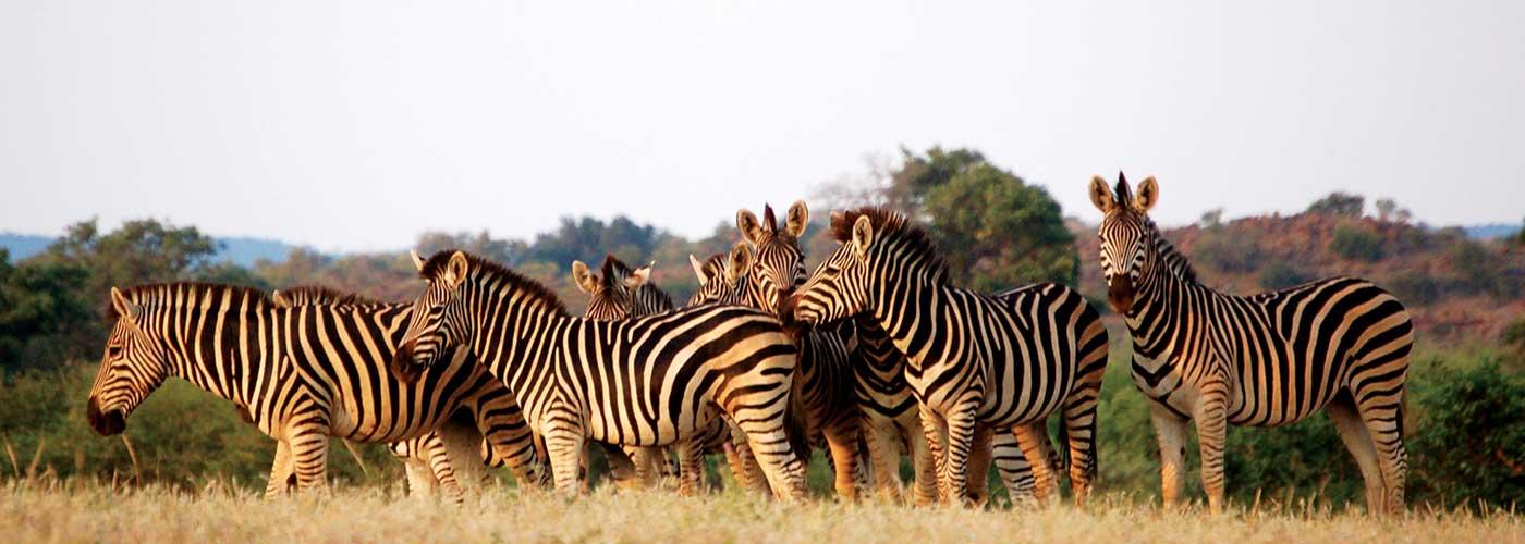 Zebras of BOTSWANA-Coates Wildlife Eco Tours