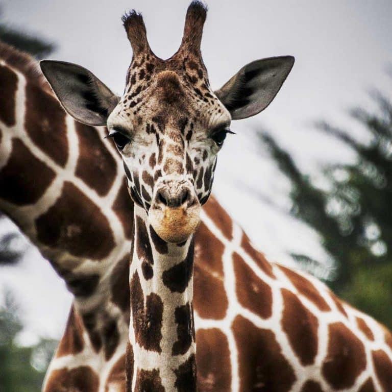 botswana eco tour-giraffes
